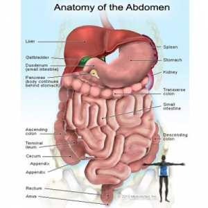 abdomen_anatomy.jpg